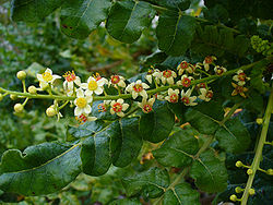 boswellia sacra tree source of frankincense