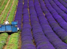 how lavender essential oil is made